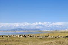吃草在青海湖附近的绵羊牧群  免版税库存图片