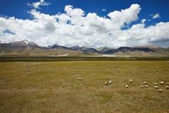 吃草在青藏高原平原的绵羊 图库摄影