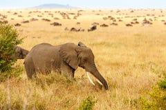吃草在非洲大草原的成人非洲灌木大象 免版税库存照片