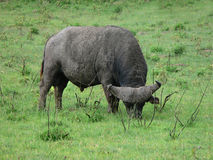吃草在非洲平原的野生非洲水牛绿草 免版税库存照片