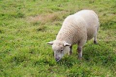 吃草在领域的一只成熟绵羊 免版税图库摄影