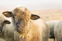 吃草在领域的一只逗人喜爱的绵羊的画象 免版税库存图片