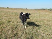 吃草在领域的公牛 图库摄影
