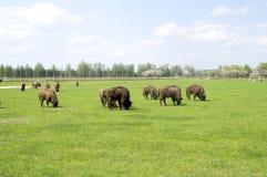 吃草在领域的北美野牛 免版税库存图片