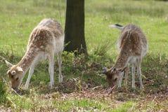 吃草在领域的小鹿 免版税库存图片