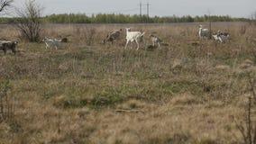 吃草在领域的本国山羊和绵羊牧群  股票视频