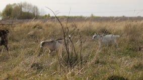 吃草在领域的本国山羊和绵羊牧群  股票录像