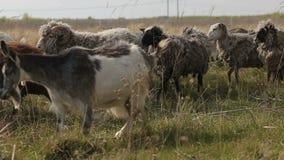 吃草在领域的本国山羊和绵羊牧群  影视素材