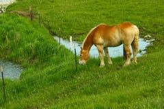 吃草在领域的栗子褐色母马在运作在一个门诺派中的严紧派的农场的一天以后在Wisconsini 免版税库存图片