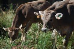 吃草在领域的牛 图库摄影