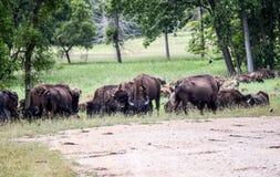 吃草在领域的狂放的北美野牛牧群 库存照片