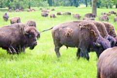 吃草在领域的狂放的北美野牛牧群 免版税图库摄影