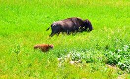 吃草在领域的狂放的北美野牛牧群 免版税库存照片