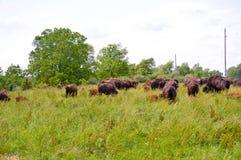 吃草在领域的狂放的北美野牛牧群 免版税库存图片