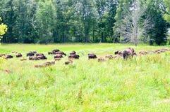吃草在领域的狂放的北美野牛牧群 库存图片