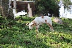 吃草在领域的羊羔 库存照片