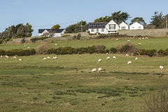 吃草在领域的领域在Anglesey,威尔士的Llanfaelog附近 免版税库存照片