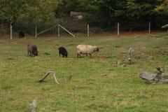 吃草在领域的黑白skudda绵羊 免版税库存照片