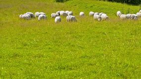 吃草在领域的绵羊、羊羔和山羊牧群  股票录像