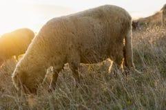吃草在领域的绵羊享受最后小时阳光 免版税库存图片