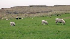 吃草在领域的绵羊和幼小羊羔 股票录像