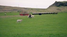 吃草在领域的绵羊和幼小羊羔 影视素材
