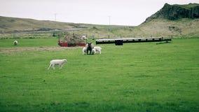 吃草在领域的绵羊和幼小羊羔 股票视频