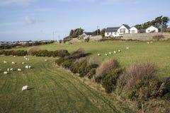 吃草在领域的绵羊在Anglesey的Llanfaelog附近,威尔士 免版税库存照片