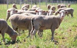 吃草在领域的绵羊 免版税库存图片