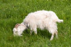 吃草在领域的绿草的一只白色山羊 免版税库存图片