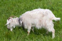吃草在领域的绿草的一只白色山羊 免版税图库摄影