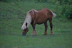 吃草在领域的Comtois马 免版税库存照片