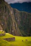 吃草在马丘比丘草的羊魄在秘鲁 免版税库存图片