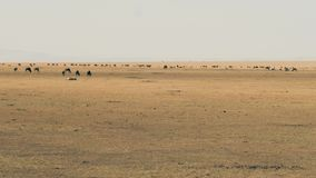 吃草在马塞语玛拉大草原的角马牧群在迁移前 股票视频