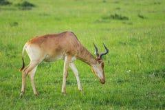 吃草在马赛马拉国家公园(肯尼亚)的Hartebeest羚羊 库存图片