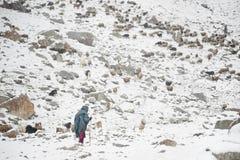 吃草在高喀喇昆仑山脉山区域的老妇人和动物  免版税库存照片