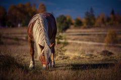 吃草在高山牧场地的马 免版税库存图片