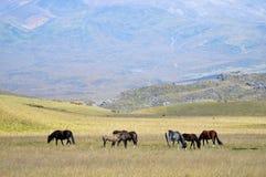 吃草在高山背景的一个草甸的马  库存图片