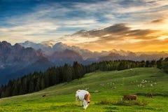 吃草在高山草甸的母牛 免版税图库摄影