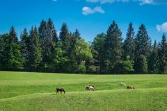 吃草在高山草甸的马 库存照片