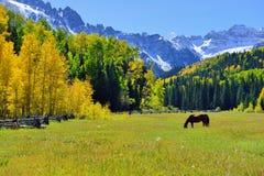 吃草在高山风景的野马由积雪的山和黄色白杨木在叶子季节期间 免版税库存图片