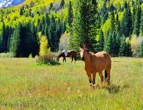 吃草在高山风景的野马由积雪的山和黄色白杨木在叶子季节期间 免版税库存照片