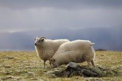 吃草在高草甸的两只绵羊 库存照片