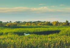 吃草在高草的Camargue马 免版税库存照片