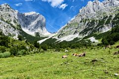 吃草在高高山牧场地的母牛在阿尔卑斯 奥地利,新手 库存图片