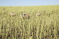 吃草在麦地的茎的绵羊在Anglesey,威尔士 库存照片