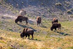 吃草在黄石国家公园的北美野牛牧群 免版税库存图片