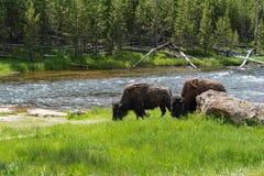 吃草在黄石的北美野牛 免版税库存图片