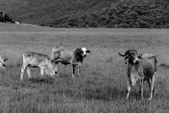 吃草在黑白作为的母牛 免版税库存图片