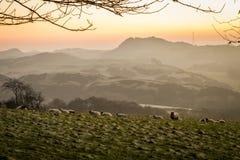 吃草在鼓笛,苏格兰的一个山坡的绵羊 库存照片